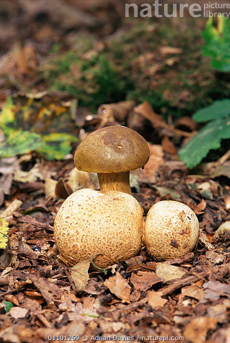Parasitic bolete fungus {Xerocomus parasiticus} UK. parasitic on Earthball fungus.  ,  BOLETACEAE, BOLETE, ENGLAND, EUROPE, FUNGI, UK, VERTICAL, WOODLANDS,United Kingdom  ,  Adrian Davies