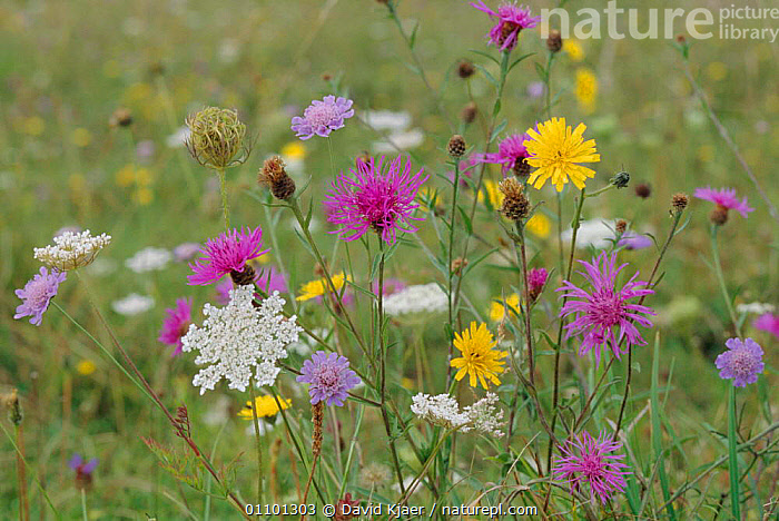 Greater knapweed, Field scabious, Wild carrot and Hawkbit flowering in meadow, UK  ,  FLOWERS,PLANTS,SUMMER,EUROPE,ENGLAND,WILTSHIRE,MEADOWLAND,COLOURFUL,DOWNLAND,UNIMPROVED,HABITAT,GRASSLAND,MIXED SPECIES,RICH,SPECIES  ,  David Kjaer