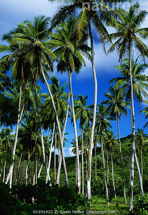 Coconut Plantation, La Digue Island, Seychelles, Indian Ocean  ,  CANOPY,COCONUT,COCONUTS,COMMERCIAL,CROPS,D,DIG,DIGITAL,DIGUE,FOOD,GAVIN,GHE,GREEN,HELLIER,ISLAND,LA,LANDSCAPES,LUSH,PLANTATION,PLANTED,PLANTS,TRAVEL,TREE,TREES,TROPICAL,VERTICAL,INDIAN OCEAN ISLANDS  ,  Gavin Hellier