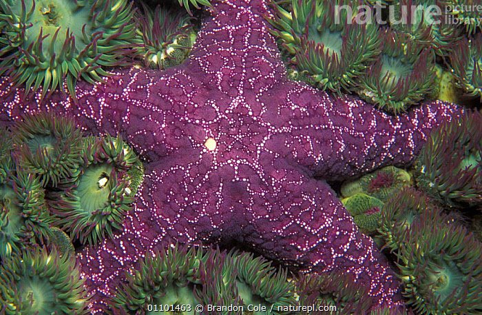 Close up of Ochre sea star {Pisaster ochraceus} Vancouver Island, British Columbia, Canada, North America. NOT FOR SALE IN US  ,  ANEMONES,AQUATIC,BCO,CLOSE,CLOSE UPS,CNIDARIAN,CNIDARIANS,COASTAL WATERS,COELENTERATE,COELENTERATES,ECHINODERM,ECHINODERMS,HORIZONTAL,INTERTIDAL,INVERTEBRATE,INVERTEBRATES,MACRO,MARINE,MIXED SPECIES,NORTH AMERICA,PACIFIC,PURPLE,SEASHORE,SEASTAR,STARFISH,TEMPERATE,TENTACLES,TIDEPOOL,UNDERWATER,USA,WATER  ,  Brandon Cole