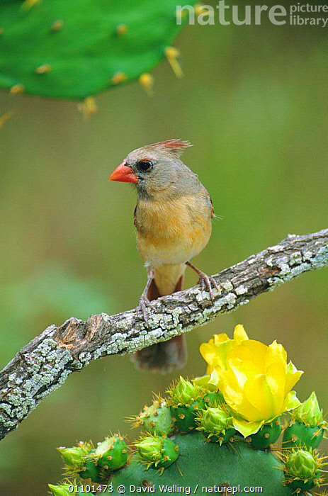Northern cardinal female {Cardinalis cardinalis} on Opuntia cactus Texas, USA  ,  CACTI,CARDINALS,FLOWERS,VERTICAL,BIRDS,AMERICA,VALLEY,RIO,GRANDE,NORTH,DESERTS,Plants  ,  David Welling
