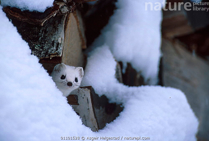 Stoat in white winter coat by log pile {Mustela erminea} Norway  ,  AHE,CARNIVORE,CARNIVORES,EUROPE,HORIZONTAL,MAMMAL,MAMMALS,NORWAY,SCANDINAVIA,SNOW,WHITE,WINTER,MUSTELIDS  ,  Asgeir Helgestad