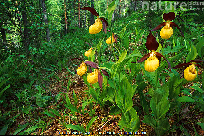 Yellow ladies slipper orchid flowering in woodland {Cypripedium calceolus} Norway  ,  AHE,EUROPE,FLOWER,FLOWERING,FLOWERS,HABITAT,HORIZONTAL,LADY,LANDSCAPE,LANDSCAPES,NORWAY,ORCHID,PLANT,PLANTS,SCANDINAVIA,SCENIC,SCENICS,WOODLAND,WOODLANDS  ,  Asgeir Helgestad
