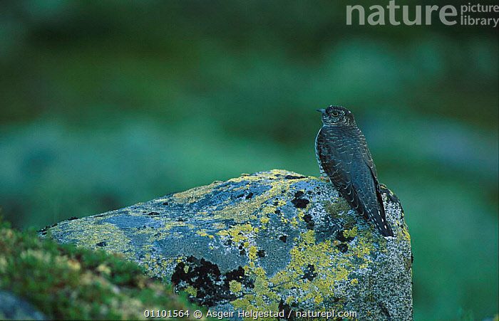 Juvenile European cuckoo {Cuculus canorus} Jotunheimen NP, Norway  ,  AHE,BIRD,BIRDS,EUROPE,HORIZONTAL,JUVENILE,NATIONAL PARK,NORWAY,NP,ONE,RESERVE,SCANDINAVIA,VERTICAL,YOUNG  ,  Asgeir Helgestad