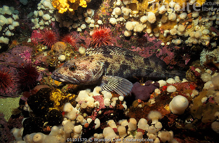 Lingcod fish camouflaged on rocky reef {Ophiodon elongatus} Vancouver Island, British Columbia, Canada, North America. NOT FOR SALE IN USA  ,  AQUATIC,BCO,CAMOUFLAGE,CANADA,COLD,CORAL,CORALS,HABITAT,HORIZONTAL,LING,MARINE,NORTHWEST,OCEAN,OSTEICHTHYES,PACIFIC,PROFILE,REEF,ROCKS,ROCKY,SEA,TEMPERATE,UNDERWATER,NORTH AMERICA  ,  Brandon Cole