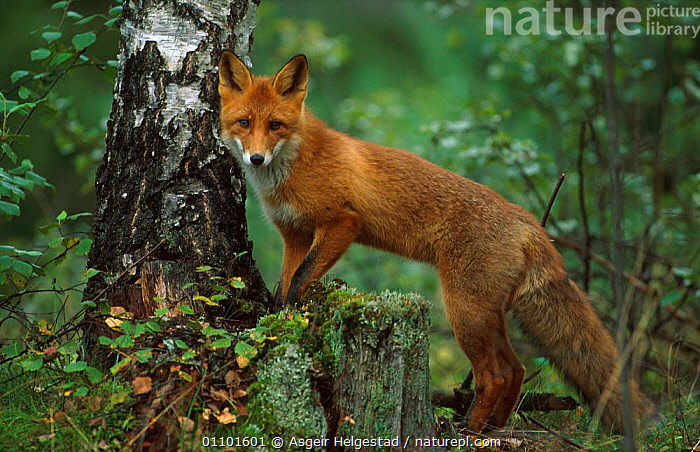 Red fox {Vulpes vulpes} Norway  ,  AHE,CARNIVORE,CARNIVORES,EUROPE,HORIZONTAL,MAMMAL,MAMMALS,NORWAY,ONE,PORTAIT,PORTRAITS,SCANDINAVIA,WOODLANDS,DOGS,CANIDS  ,  Asgeir Helgestad