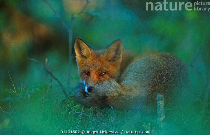 Red fox resting {Vulpes vulpes} Norway  ,  AHE,CARNIVORE,CARNIVORES,EUROPE,HORIZONTAL,MAMMAL,MAMMALS,NORWAY,ONE,RESTING,SCANDINAVIA,WOODLANDS,DOGS,CANIDS  ,  Asgeir Helgestad
