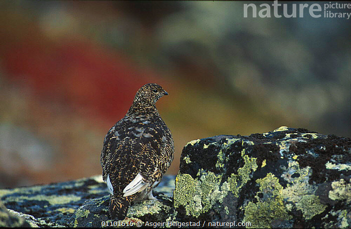 Rock ptarmigan {Lagopus mutus} Sarek NP, Norway  ,  AHE,BIRD,BIRDS,CAMOUFLAGE,EUROPE,HORIZONTAL,NATIONAL PARK,NORWAY,NP,SAREK,SCANDINAVIA,VERTICAL  ,  Asgeir Helgestad