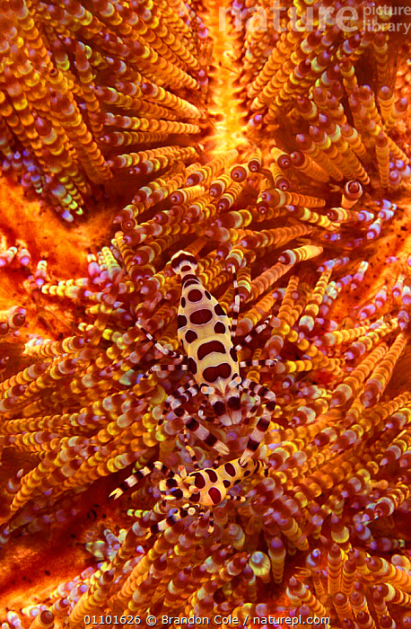 Sea urchin shrimps camouflaged on sea urchin {Periclimenes colemani} Lembeh Strait Indo Pacific NOT FOR SALE IN US  ,  ASIA,BCO,CAMOUFLAGE,CLOSE,CLOSE UPS,COLORFUL,COLOURFUL,COMMENSALISM,CONCEPTS,CORAL REEFS,CRUSTACEANS,HABITAT,HIDDEN,HIDING,INDO PACIFIC,INDONESIA,INVERTEBRATE,INVERTEBRATES,MARINE,PARTNERSHIP,SOUTH EAST ASIA,SULAWESI,SYMBIOSIS,TROPICAL,UNDERWATER,VERTICAL  ,  Brandon Cole
