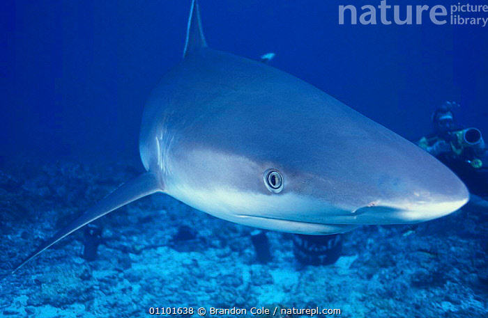 Silvertip shark approaching {Carcharhinus albimarginatus} Burma Banks Thailand Indian Ocean NOT FOR SALE IN US  ,  APPROACHING,ASIA,BCO,CHONDRICHTHYES,CLOSE UP,CLOSE UPS,CORAL REEFS,DANGER,DANGEROUS,ELASMOBRANCH,ELASMOBRANCHS,FACE,FACES,FISH,HEAD,HEADS,HORIZONTAL,MARINE,OUTSTANDING,PORTRAITS,PREDATOR,SEA,SHARK,SHARKS,SILVER TIP,SOUTH EAST ASIA,THAILAND,UNDERWATER, Fish  ,  Brandon Cole
