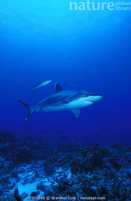 Silvertip shark prowling above seabed {Carcharhinus albimarginatus} Burma Banks, Thailand / Burma Myanmar  NOT FOR SALE IN US  ,  AQUATIC,BCO,BURMA,CHONDRICHTHYES,CORAL REEFS,CORALS,DANGER,DANGEROUS,ELASMOBRANCH,FISH,GRACEFUL,HABITAT,MARINE,MENACING,MYANMAR,PATROLLING,PREDATOR,PROWLING,REEF,SEA,SEABED,SEAFLOOR,SOUTH EAST ASIA,SWIMMING,THAILAND,VERTICAL,ASIA,SHARKS, Fish  ,  Brandon Cole