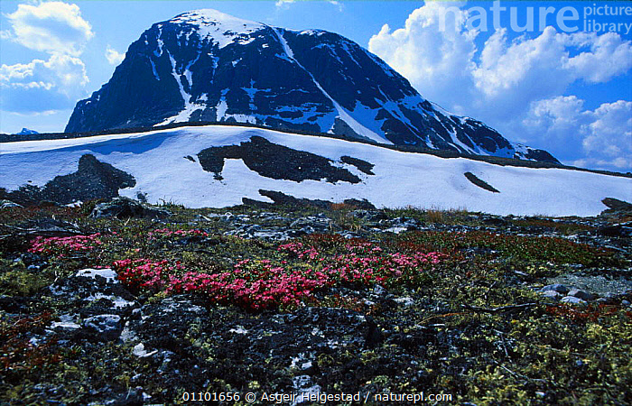 Rondane NP, Norway with Alpine azalea {Loiseleuria procumbens} in foreground  ,  AHE,AZALEA,FLOWERS,HORIZONTAL,LANDSCAPE,LANDSCAPES,NATIONAL PARK,NP,PLANT,PLANTS,RESERVE,RONDANE,SCANDINAVIA,SCENIC,SCENICS,SUMMER,Europe, Scandinavia  ,  Asgeir Helgestad