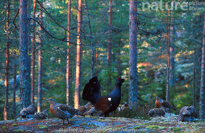 Capercaillie male courtship display in front of females {Tetrao urogallus} Norway  ,  AHE,BEHAVIOUR,BIRDS,CALLING,COURTSHIP,DISPLAY,EUROPE,FEMALE,HORIZONTAL,MALES,MATING BEHAVIOUR,NORWAY,PORTRAIT,PORTRAITS,REPRODUCTION,SCANDINAVIA,WOODLAND,WOODLANDS,COMMUNICATION  ,  Asgeir Helgestad