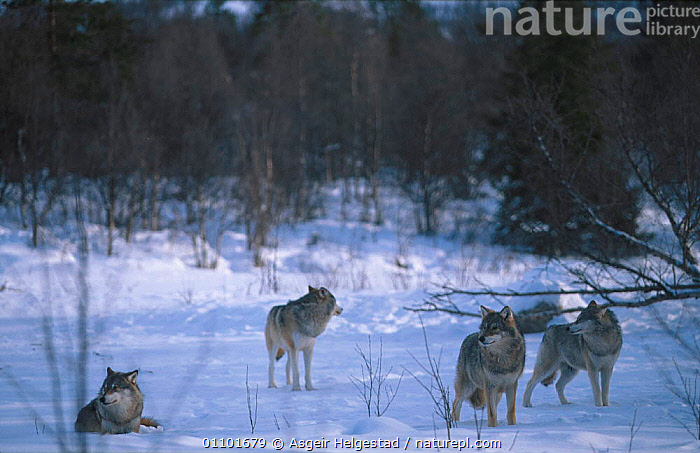 Pack of European grey wolves in snow {Canis lupus} Norway  ,  AHE,CARNIVORE,CARNIVORES,EUROPE,EUROPEAN,GROUP,GROUPS,HORIZONTAL,MAMMAL,MAMMALS,NORWAY,SCANDINAVIA,SNOW,WINTER,DOGS,CANIDS  ,  Asgeir Helgestad