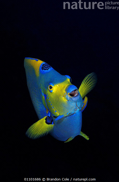 Queen angelfish portrait {Holacanthus ciliaris} Bonaire, Caribbean Sea - NOT FOR SALE IN USA  ,  AQUATIC, CARIBBEAN, COLOURFUL, FINS, FISH, HEADS, MARINE, MOUTHS, NIGHT, OSTEICHTHYES, PORTRAITS, TROPICAL, UNDERWATER, USA, VERTEBRATES, VERTICAL,West Indies,North America  ,  Brandon Cole
