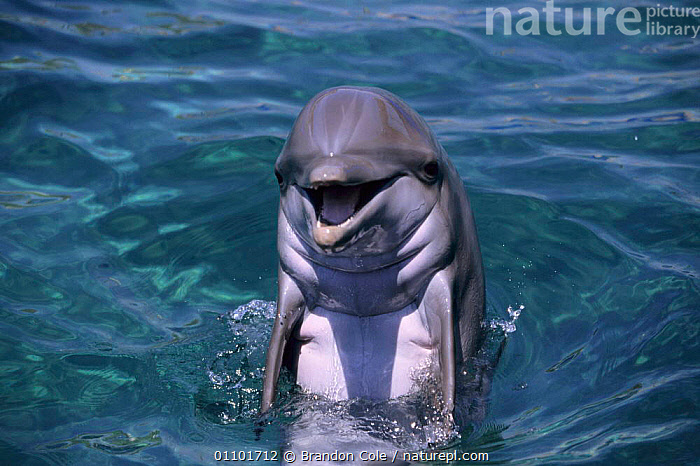 Bottlenose dolphin at surface {Tursiops truncatus} - captive animal.  ,  AMERICA,AQUARIUM,ATTRACTION,BCO,CAPTIVE,CETACEAN,CETACEANS,DOLPHINARIA,DOLPHINS,FACES,FUN,HORIZONTAL,MAMMAL,MAMMALS,MOUTH,MOUTHS,NORTH,NORTH AMERICA,PLAYFUL,SURFACE,TRAINED,USA, Mammals  ,  Brandon Cole