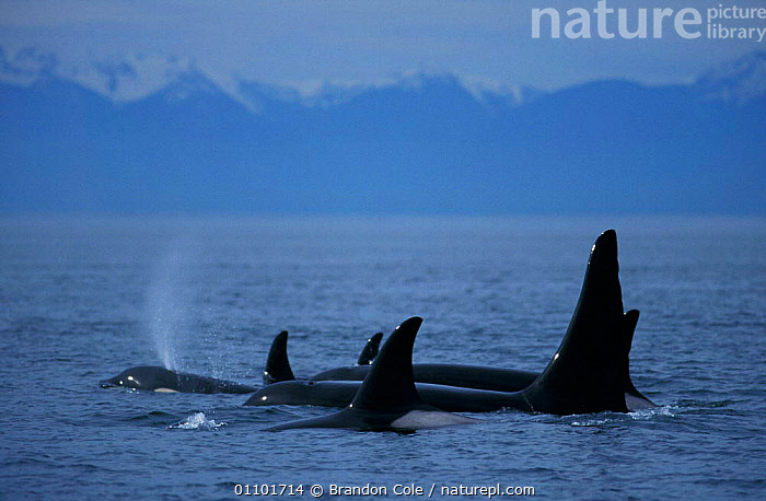 Killer whale pod at surface {Orcinus orca} San Juan Islands, Washington, North America NOT FOR SALE IN THE USA.  ,  ALASKA,AQUATIC,BCO,BE,CETACEAN,CETACEANS,COASTAL WATERS,COASTS,DOLPHINS,FAMILIES,FAMILY,GROUP,GROUPS,HORIZONTAL,LANDSCAPES,MAMMAL,MAMMALS,MARINE,OCEAN,PACIFIC,POD,PODS,SEA,SURFACE,SURFACING,SWIMMING,TOOTHED,TRAVELLING,USA,WILD,NORTH AMERICA  ,  Brandon Cole