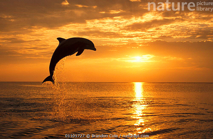 Bottlenose dolphin leaping above surface at sunset {Tursiops truncatus} Honduras Caribbean, trained animal NOT FOR SALE IN US  ,  ACTION,ATMOSPHERIC,BCO,BREACHING,CARIBBEAN,CARIBEEAN,CETACEANS,DUSK,EVENING,FUN,HORIZONTAL,JUMPING,LEAPING,MAMMALS,MARINE,MOTION,MOVEMENT,OCEAN,PLAY,PLAYFUL,PLAYING,SILHOUETTES,SUNSET,SURFACE,TOOTHED,TROPICAL,COMMUNICATION,DOLPHINS,West Indies, Mammals  ,  Brandon Cole