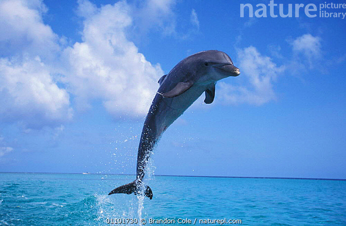 Bottlenose dolphin leaping above surface {Tursiops truncatus} Honduras Caribbean, trained animal. NOT FOR SALE IN USA  ,  ACTION,BCO,BOTTLENOSED,BREACHING,CAPTIVE,CARIBBEAN,CETACEAN,CETACEANS,CLOUDS,FUN,HONDURAS,HORIZON,HORIZONTAL,JUMPING,LEAPING,MAMMAL,MAMMALS,MARINE,OCEAN,ONE,OUTSTANDING,PLAY,PLAYFUL,PLAYING,SALE,SEA,SKY,SURFACE,VERTICAL,WEATHER,COMMUNICATION,DOLPHINS,West Indies, Mammals,CENTRAL-AMERICA  ,  Brandon Cole