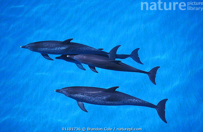 Atlantic spotted dolphins swimming at surface {Stenella frontalis} Bahamas, Atlantic. NOT FOR SALE IN US  ,  BCO,BLUE,CARIBBEAN,CETACEAN,CETACEANS,DOLPHINS,FAMILIES,FAMILY,GROUP,GROUPS,HORIZONTAL,LANDSCAPES,MAMMAL,MAMMALS,MARINE,OCEAN,POD,PODS,SCENICS,SEA,SEASCAPES,SURFACE,SURFACING,TROPICAL,TROPICS,West Indies, Mammals  ,  Brandon Cole
