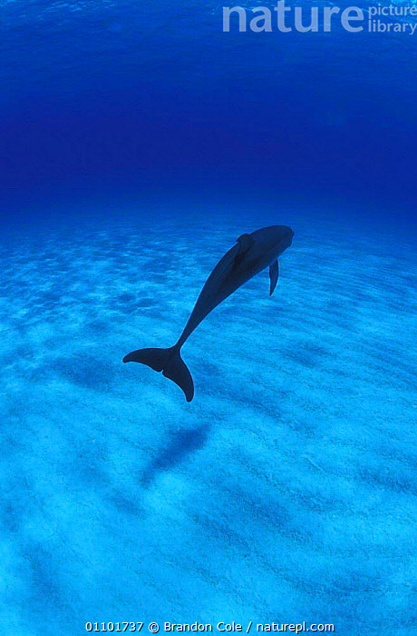 Atlantic spotted dolphin swimming away {Stenella frontalis} Bahamas, Atlantic NOT FOR SALE IN US  ,  BCO,CARIBBEAN,CETACEAN,CETACEANS,DOLPHINS,MAMMAL,MAMMALS,MARINE,OCEAN,ONE,SOLITARY,SWIMMING,TAIL,TAILS,TRAVELLING,TROPICAL,TROPICS,UNDERWATER,VERTICAL,West Indies, Mammals  ,  Brandon Cole