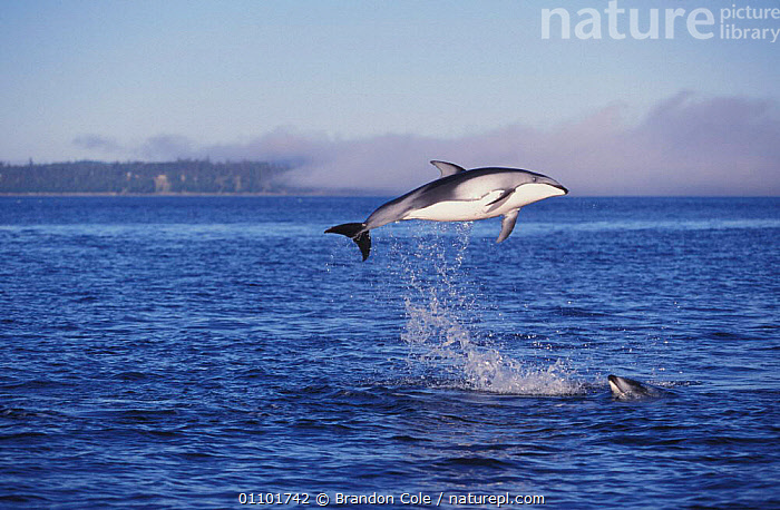Pacific white sided dolphins jumping at surface {Lagenorhynchus obliquidens} Vancouver Island BC Canada North America NOT FOR SALE IN USA  ,  ACTION,BCO,BREACHING,CANADA,CETACEANS,COASTAL WATERS,COMMUNICATION,DOLPHINS,ENERGETIC,ENERGY,FREEDOM,FUN,HAPPY,HORIZONTAL,JUMPING,LEAPING,MAMMAL,MAMMALS,MARINE,MOTION,MOVEMENT,NORTH AMERICA,PLAY,PLAYING,STRAIT,SURFACE, Mammals  ,  Brandon Cole
