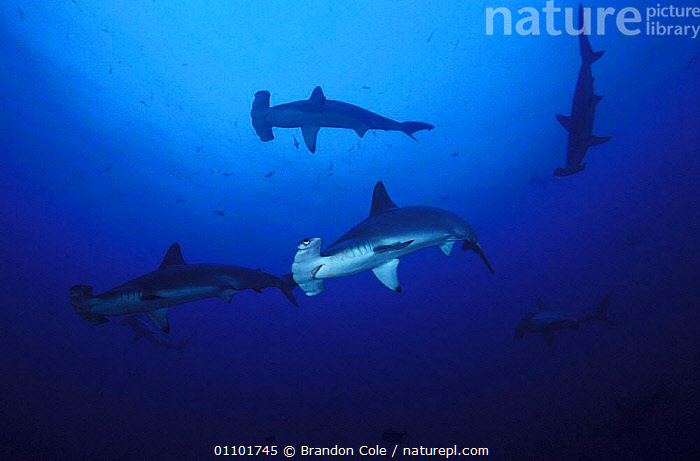 Scalloped hammerhead sharks swimming {Sphyrna lewini} Cocos Island Costa Rica NOT FOR SALE IN US  ,  BCO,CHONDRICHTHYES,CORAL REEFS,DANGER,DANGEROUS,FISH,GROUPS,HORIZOTNAL,MARINE,MYSTERIOUS,PACIFIC,PATROLLING,PREDATORS,SILHOUETTES,SWIMMING,TROPICAL,UNDERWATER,SHARKS, Fish  ,  Brandon Cole