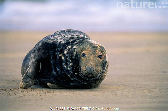 Grey seal on beach {Halichoerus grypus} Lincolnshire UK  ,  BEACHES,CARNIVORES,COASTS,CUTE,ENGLAND,EUROPE,FACES,HORIZONTAL,MAMMALS,PINNIPEDS,SEALS,UK,VERTEBRATES,United Kingdom,British  ,  DAVID TIPLING
