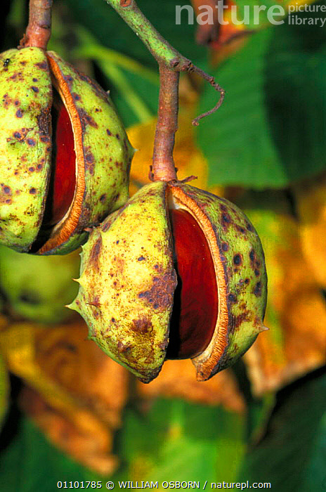 Horse chestnut conkers ready to fall from tree {Aesculus hippocastanum} UK  ,  FRUIT,PLANTS,TREES,GLOUCESTERSHIRE,EUROPE,AUTUMN,CONKER,GLOS,SEEDS,SEED,PLANT,ENGLAND,Equines  ,  WILLIAM OSBORN