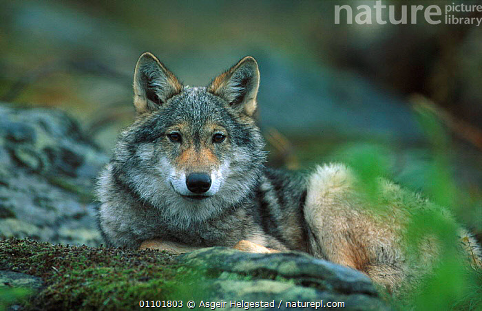 Young European grey wolf resting {Canis lupus} Norway  ,  AHE,CARNIVORE,CARNIVORES,EUROPE,EUROPEAN,HORIZONTAL,JUVENILE,MAMMAL,MAMMALS,NORWAY,SCANDINAVIA,TIMBER,YOUNG,DOGS,CANIDS  ,  Asgeir Helgestad