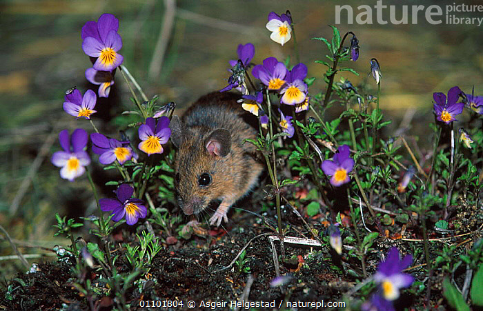 Yellow-necked mouse field mouse {Apodemus flavicollis} Norway  ,  AHE,DIGITAL,EUROPE,FLOWERS,HORIZONTAL,MAMMAL,MAMMALS,NORWAY,ONE,RODENT,RODENTS,SCANDINAVIA,MURIDAE  ,  Asgeir Helgestad