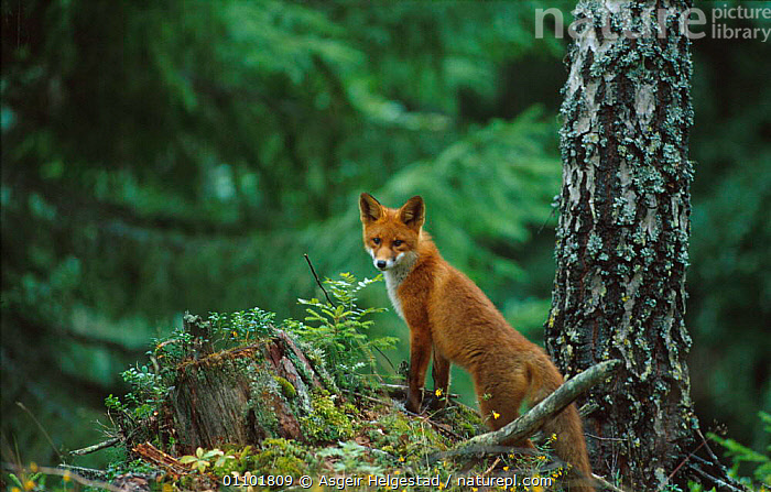 Red fox {Vulpes vulpes} in woodland, Norway  ,  AHE,CARNIVORE,CARNIVORES,CONIFEROUS,EUROPE,HORIZONTAL,MAMMAL,MAMMALS,NORWAY,ONE,SCANDINAVIA,WOODLAND,WOODLANDS,DOGS,CANIDS  ,  Asgeir Helgestad