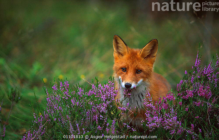 Young Red fox {Vulpes vulpes} Norway  ,  AHE,CARNIVORE,CARNIVORES,EUROPE,JUVENILE,MAMMAL,MAMMALS,NORWAY,SCANDINAVIA,YOUNG,DOGS,CANIDS  ,  Asgeir Helgestad