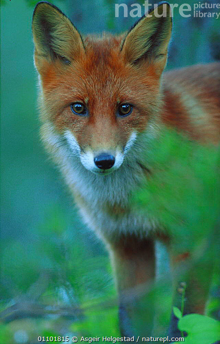 Young Red fox portrait {Vulpes vulpes} Norway  ,  AHE,CARNIVORES,CUTE,DIGITAL,EUROPE,FACES,JUVENILE,MAMMAL,MAMMALS,NORWAY,OUTSTANDING,PORTRAIT,PORTRAITS,SCANDINAVIA,VERTICAL,YOUNG,DOGS,CANIDS  ,  Asgeir Helgestad