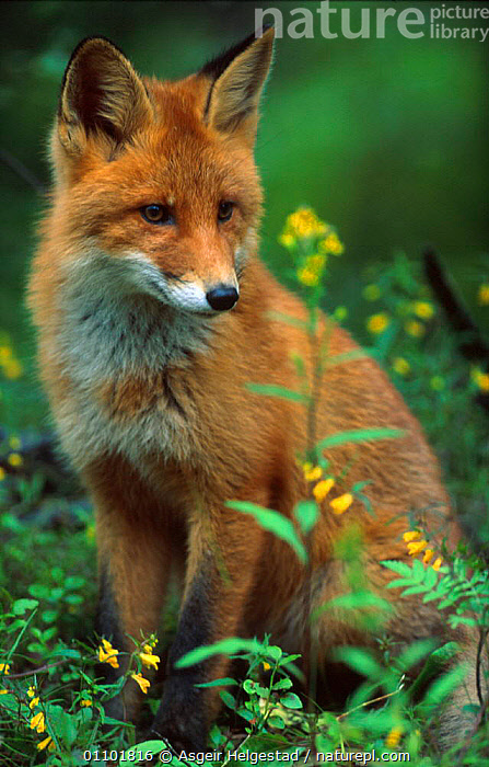 Young Red fox sitting {Vulpes vulpes} Norway  ,  AHE,CARNIVORE,CARNIVORES,EUROPE,JUVENILE,MAMMAL,MAMMALS,NORWAY,ONE,PORTRAIT,PORTRAITS,SCANDINAVIA,SITTING,VERTICAL,WOODLAND,WOODLANDS,YOUNG,DOGS,CANIDS  ,  Asgeir Helgestad