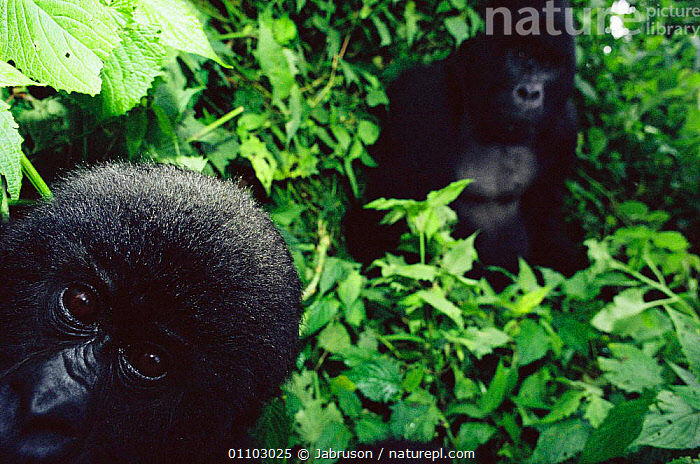 "Young Mountain gorilla {Gorilla beringei} peers into camera, Virunga NP, Dem Rep of Congo. Silverback ""Rugabo"" in background was killed by militia roaming the park during the Rwandan refugee crisis., AFRICA,ARTY,BDA,CENTRAL,CENTRAL AFRICA,FACES,GREAT APES,HORIZONTAL,MAMMALS,NATIONAL PARK,NP,PORTRAITS,PRIMATES,Catalogue1 , Bruce Davidson, Jabruson"