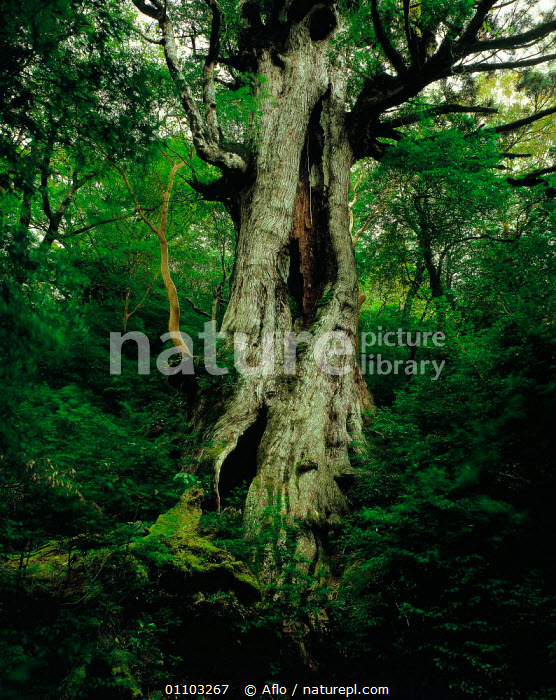 N-0303 Daio-sugi cedar tree, Yakushima, Kagoshima, Japan., AFLO,ANCIENT,ASIA,CATALOGUE,CEDAR,DAIO,GNARLED,JAPAN,N 0303,NATURE CATALOGUE,OLD,TREE,TREES,TRUNK,TRUNKS,VERTICAL,WOODLAND,WOODLANDS,Plants, Aflo