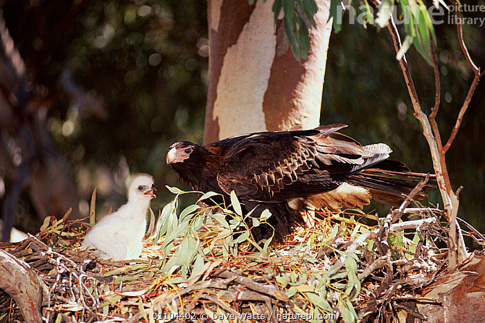 Wedge-tailed eagle at nest with chick {Aquila audax} New South Wales, Australia, BIRDS OF PREY,FEEDING,VERTEBRATES,AUSTRALIA,BIRDS,EAGLES,FAMILIES,NESTS,AQUILA AUDAX,Animal,Vertebrate,Birds,True eagle,Wedge tailed eagle,Animalia,Animal,Vertebrate,Aves,Birds,Accipitriformes,Accipitridae,Aquila,True eagle,Aquila audax,Wedge tailed eagle, Dave Watts