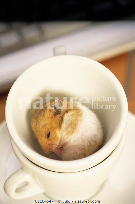 Nature Picture Library - ic-06203 Golden hamster sleeping in