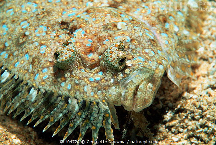 Panther flounder, close-up of face {Bothus pantherinus} Vavau, Tonga, Indo Pacific  ,  ASIA,CLOSE UP,CLOSE UPS,EYE,EYES,FACE,FACES,FISH,FLAT,GD,HORIZONTAL,INDO PACIFIC,MARINE,OSTEICHTHYES,PORTRAIT,PORTRAITS,TROPICAL,UNDERWATER  ,  Georgette Douwma