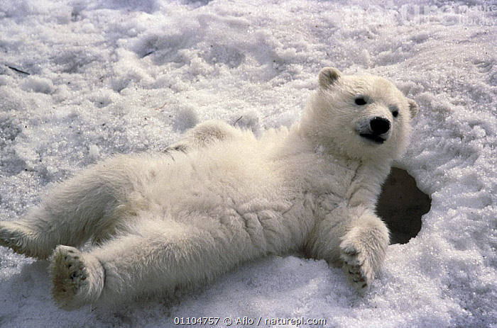 ic-06901 Young Polar bear relaxing on snow {Ursus maritimus}  ,  BEARS,CARNIVORES,CUTE,HORIZONTAL,MAMMALS,SNOW,VERTEBRATES,WINTER  ,  Aflo