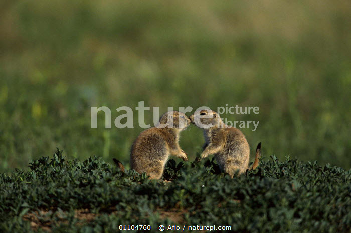 ic-06904 Black tailed prairie dog pair greeting {Cynomys ludovicianus}  ,  AFLO,AMERICA,ANIMALS,BEHAVIOUR,CAPTIVE,CATALOGUE,COMMUNICATION,CONCEPTS,CUTE,FRIENDS,FRIENDSHIP,GRASSLAND,GREETING,IC 06904,MAMMAL,MAMMALS,NORTH AMERICA,RODENT,RODENTS,SOCIAL,TWO,VERTICAL  ,  Aflo