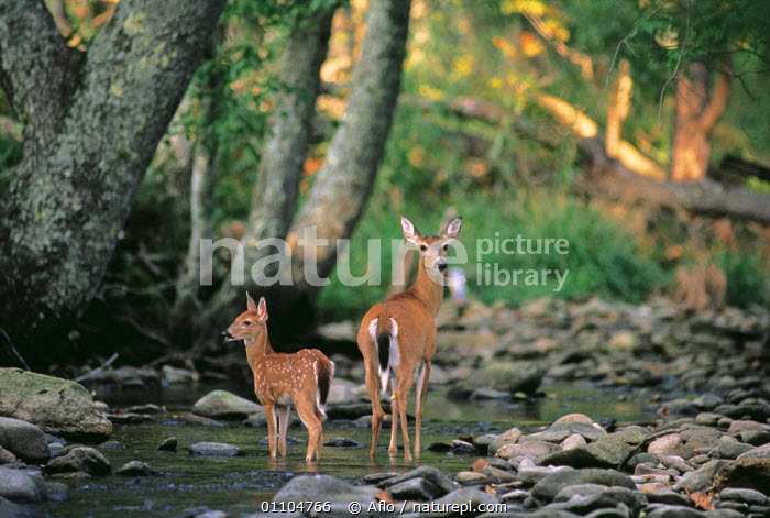 ic-07004 Fallow deer mother + fawn at woodland stream {Dama dama}, AFLO,ANIMALS,ARTIODACTYLA,BABIES,BABY,BROADLEAF,CATALOGUE,FAMILIES,FAMILY,HORIZONTAL,IC 07004,LANDSCAPE,LANDSCAPES,MAMMAL,MAMMALS,PRETTY,RIVER,RIVERS,STEAMS,STREAM,WATER,WOODLAND,WOODLANDS, Aflo