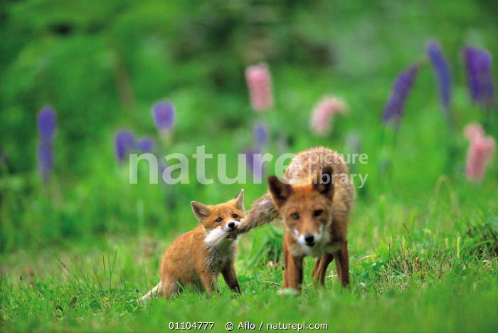 ic-07203 Japanese red fox cub biting mother's tail (Kitsune) {Vulpes vulpes japonica} Japan  ,  AFLO,ANIMALS,ASIA,BABIES,BABY,CARNIVORE,CARNIVORES,CATALOGUE,CUB,CUTE,FAMILIES,FAMILY,FUNNY,HORIZONTAL,HUMOROUS,HUMOUROUS,IC 07203,JUVENILE,LONG SUFFERING,MAMMAL,MAMMALS,PLAY,PLAYING,PULLING,TAIL,TAILS,CONCEPTS,COMMUNICATION,DOGS,CANIDS  ,  Aflo