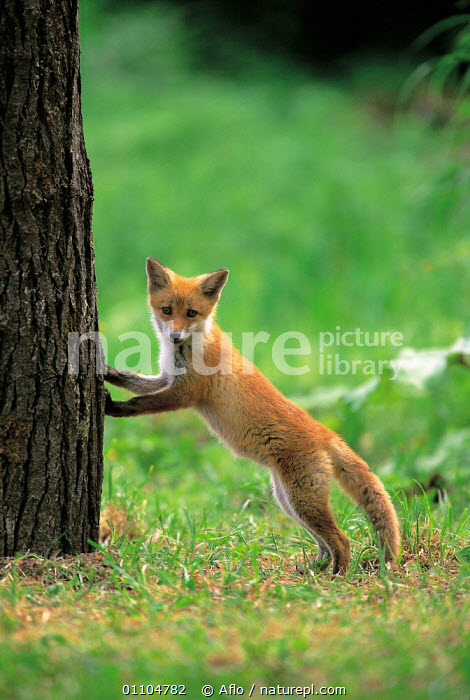 ic-07304 Japanese red fox cub / Kitsune standing against tree {Vulpes vulpes japonica} Japan  ,  AFLO,ANIMALS,ASIA,BABIES,BABY,CARNIVORE,CARNIVORES,CATALOGUE,CUB,IC 07304,JAPAN,JUVENILE,MAMMAL,MAMMALS,STANDING,TREES,TRUNK,TRUNKS,PLANTS,DOGS,CANIDS  ,  Aflo