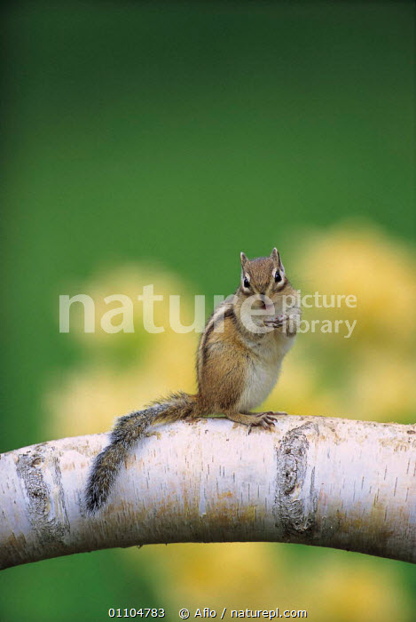 ic-07401 Siberian chipmunk / Striped squirrel {Tamias sibiricus} Japan  ,  AFLO,ANIMALS,ASIA,CATALOGUE,CUTE,IC 07401,JAPAN,MAMMAL,MAMMALS,PORTRAIT,PORTRAITS,RODENT,RODENTS,VERTICAL  ,  Aflo