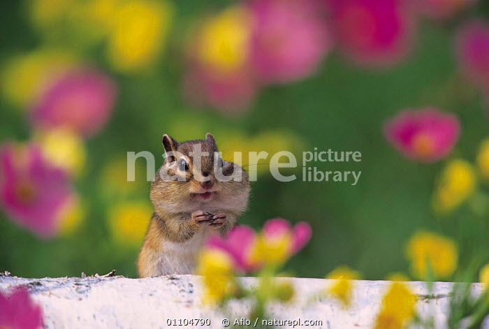ic-07501 Siberian chipmunk / Striped squirrel feeding, cheek pouches full {Tamias sibiricus} Japan  ,  AFLO,ANIMALS,ASIA,CATALOGUE,CHEEKS,CUTE,FEEDING,HUMOROUS,HUMOUROUS,IC 07501,JAPAN,MAMMAL,MAMMALS,PORTRAIT,PORTRAITS,RODENT,RODENTS,VERTICAL,CONCEPTS  ,  Aflo