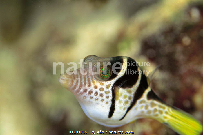 ic-08405 Crown toby {Canthigaster coronata} Japan.  ,  AFLO,ANIMALS,ASIA,CATALOGUE,FISH,FUNNY,HORIZONTAL,HUMOROUS,HUMOUROUS,IC 08405,JAPAN,MARINE,TROPICAL,CONCEPTS  ,  Aflo