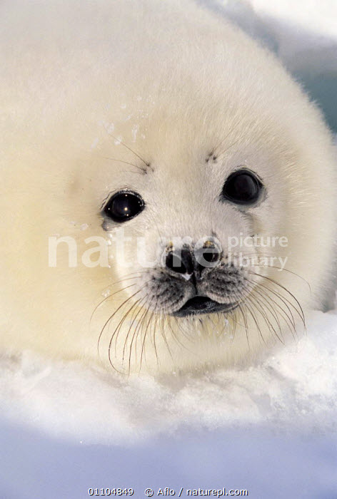 ic-09005 Harp seal pup on ice {Phoca groenlandicus} Canada  ,  AFLO,ANIMALS,ARCTIC,BABIES,BABY,CANADA,CATALOGUE,CUDDLY,CUTE,FACE,FACES,FRIENDLY,IC 09005,ICE,MAMMAL,MAMMALS,PINNIPED,PINNIPEDS,PORTRAIT,PORTRAITS,PUP,SEAL,VERTICAL,WHISKERS,WHITE,NORTH AMERICA, CARNIVORES , CARNIVORES , CARNIVORES , CARNIVORES  ,  Aflo