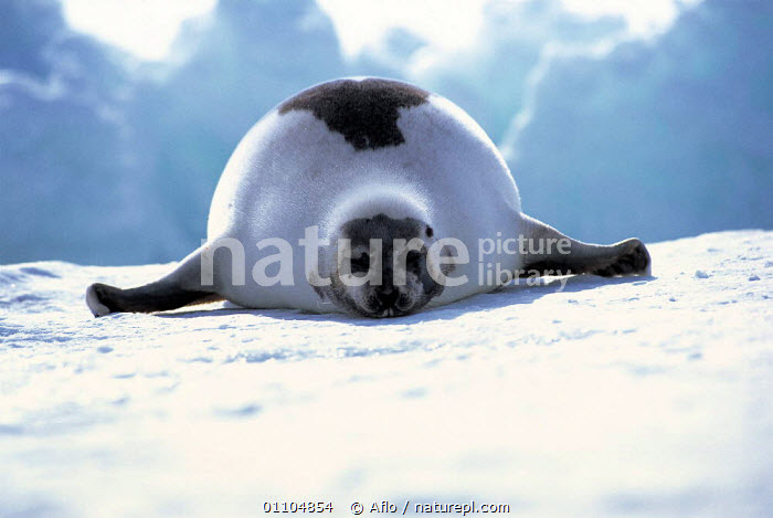 ic-09105 Harp seal on ice {Phoca groenlandicus} Canada  ,  AFLO,ANIMALS,ARCTIC,CANADA,CATALOGUE,FAT,FUNNY,HORIZONTAL,HUMOROUS,HUMOUROUS,IC 09105,ICE,LARGE,MAMMAL,MAMMALS,PINNIPED,PINNIPEDS,PORTRAIT,PORTRAITS,NORTH AMERICA,CONCEPTS, CARNIVORES  ,  Aflo